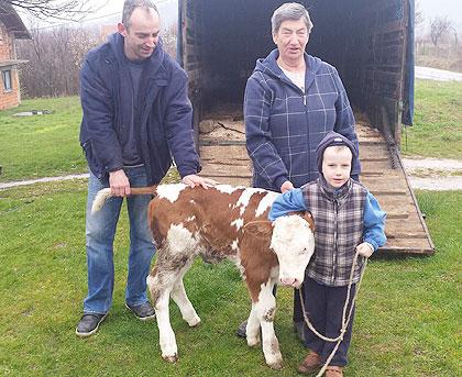 Крава и теле за Станковиће код Тузле