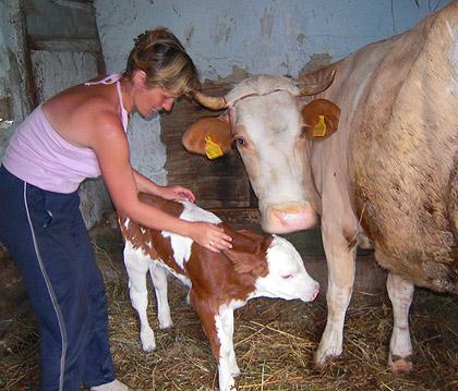 Отелила се СЗС крава на Мајевици