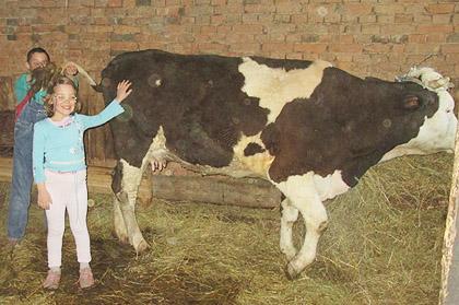Купљена крава за Сретеновиће